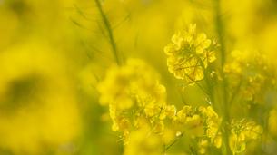 吾妻山の菜の花の写真素材 [FYI04782964]