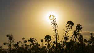 吾妻山 / 逆光に照らされる菜の花の写真素材 [FYI04782965]