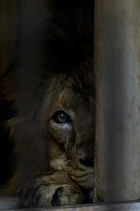 こちらを見るライオンの写真素材 [FYI04782970]