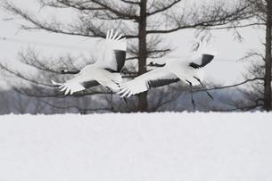 タンチョウの番いの飛来の写真素材 [FYI04783173]