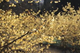 筑波山の蝋梅の写真素材 [FYI04783235]