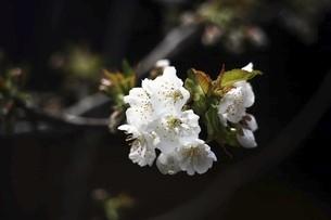 さくらんぼの花の写真素材 [FYI04783366]