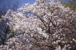 染井吉野の花咲くの写真素材 [FYI04783377]