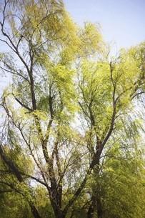 ヤナギの若葉の写真素材 [FYI04783383]
