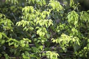 キヅタの若葉の写真素材 [FYI04783390]