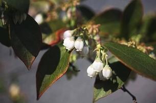 ブルーベリーの白い花の写真素材 [FYI04783407]