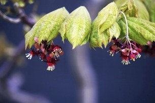 ハウチワカエデの小花の写真素材 [FYI04783409]