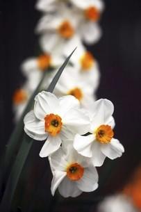 小杯水仙の白い花の写真素材 [FYI04783412]