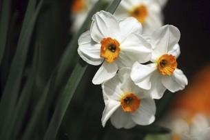 小杯水仙の白い花の写真素材 [FYI04783413]
