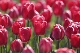 チューリップの花畑の写真素材 [FYI04783414]