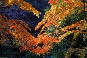 滋賀県東近江市 朝の日差しに映える境内の紅葉の写真素材 [FYI04783444]