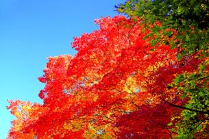 滋賀県 東近江市 青空の下深紅に色づく紅葉の秋の写真素材 [FYI04783447]