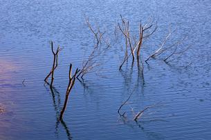 岐阜県 揖斐川町 湖底に沈んだ立木のオブジエの写真素材 [FYI04783450]
