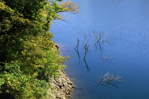 岐阜県 揖斐川町 立ち枯れの木が印象的な徳山ダム湖の秋の写真素材 [FYI04783451]
