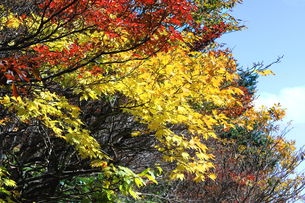 三重県 御在所岳 カエデの葉が色づく御在所岳の秋の写真素材 [FYI04783452]