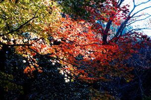 滋賀県 東近江市 朝の光に浮かぶカエデの紅葉の写真素材 [FYI04783453]
