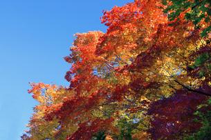 滋賀県 東近江市  青空に紅葉が映える百済寺の門前の写真素材 [FYI04783454]