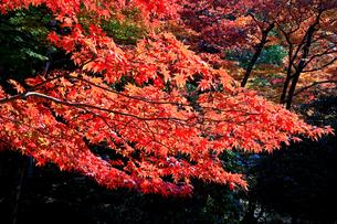 滋賀県 東近江市 真っ赤に色づく東光寺の紅葉の写真素材 [FYI04783458]