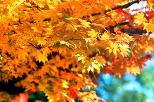 滋賀県 東近江市 逆光に映える境内の紅葉の写真素材 [FYI04783465]