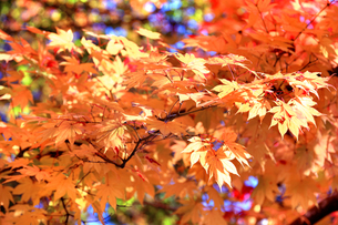 滋賀県 東近江市 逆光に映える美しい紅葉の葉の写真素材 [FYI04783466]
