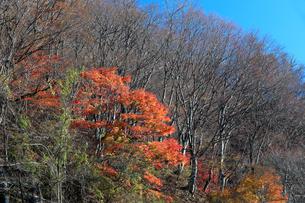 岐阜県 揖斐川町 青空の下紅葉がきれいな晩秋の木立の写真素材 [FYI04783467]