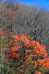 岐阜県 揖斐川町 青空の下紅葉がきれいな晩秋の山の写真素材 [FYI04783468]