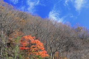 岐阜県 揖斐川町 青空が美しい晩秋の山の写真素材 [FYI04783470]