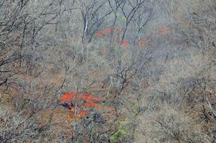 岐阜県 揖斐川町 紅葉の赤が印象的な晩秋の山肌の写真素材 [FYI04783471]