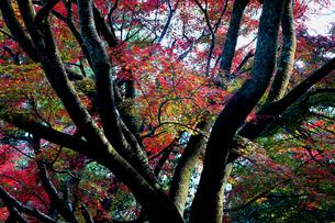 岐阜県 池田町   木立の中に紅葉が映える池田山の秋の写真素材 [FYI04783472]