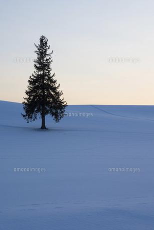 夕暮れの雪原に立つマツの木 美瑛町の写真素材 [FYI04783482]
