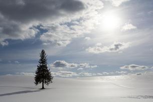 春の雪原に立つ一本の松の木の写真素材 [FYI04783502]