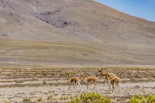 荒野を歩く絶滅危惧種・ビクーニャの写真素材 [FYI04783661]