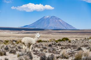 アルパカとミスティ火山の写真素材 [FYI04783664]