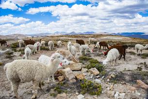 アルパカとリャマ(ラマ)の放牧風景の写真素材 [FYI04783666]