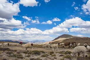 アルパカとリャマ(ラマ)の放牧風景の写真素材 [FYI04783667]