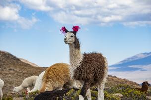 リャマ(ラマ)の放牧:アンデスのラクダの写真素材 [FYI04783668]