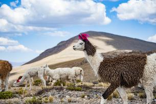 リャマ(ラマ)の放牧(後ろ:アルパカ)の写真素材 [FYI04783669]