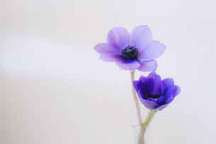 紫色の二輪のアネモネの写真素材 [FYI04783670]