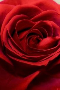 色っぽいバラの写真素材 [FYI04783737]