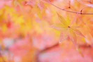 鮮やかな紅葉の写真素材 [FYI04783742]