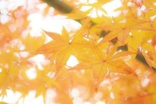 鮮やかな紅葉の写真素材 [FYI04783743]