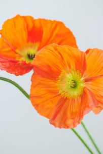 オレンジの二輪のポピーの写真素材 [FYI04783747]