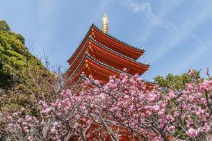 東長寺の塔と梅の花の写真素材 [FYI04783775]