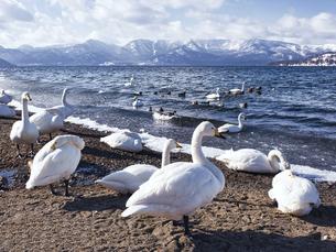 屈斜路湖の白鳥の写真素材 [FYI04783814]