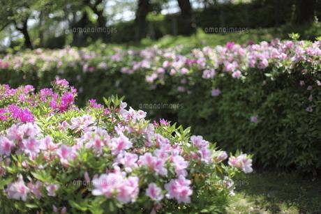 公園のツツジの写真素材 [FYI04783821]
