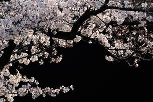 桜の写真素材 [FYI04783891]