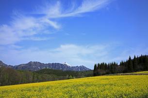 5月 戸隠高原のナノハナ畑と戸隠山の写真素材 [FYI04784163]