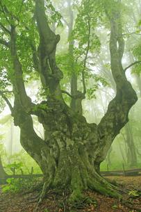 5月 新緑の鳥海山 -中島台のあがりこ大王-の写真素材 [FYI04784178]