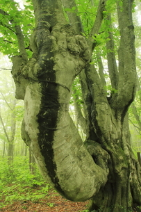 5月 新緑の鳥海山 -中島台の奇形ブナ-の写真素材 [FYI04784183]