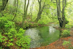 5月 新緑の鳥海山 -獅子ヶ鼻湿原の出ツボ-の写真素材 [FYI04784185]